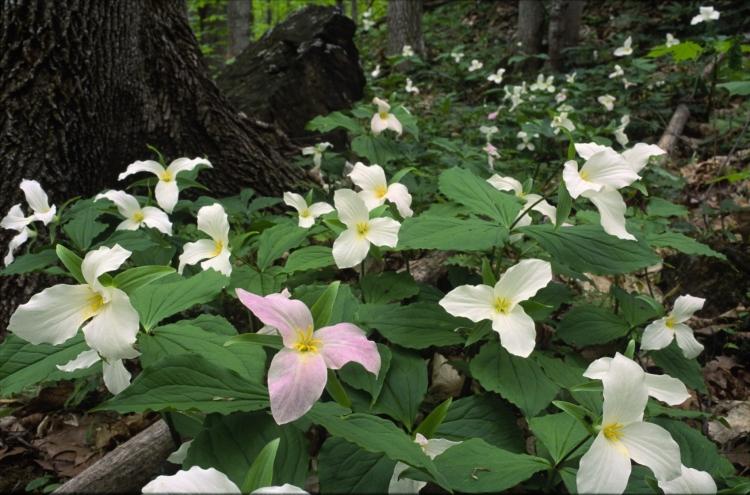 forest trilliums 2